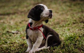 трава, мордочка, взгляд, собака, щенок, ошейник