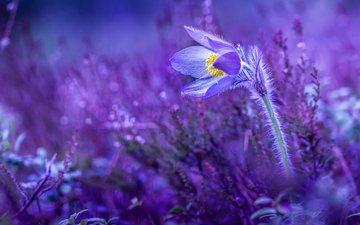 природа, растения, цветок, весна, первоцвет, сон-трава, прострел