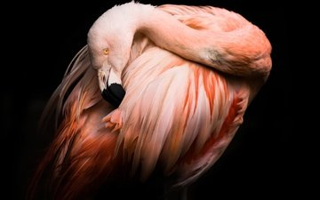 фламинго, птица, клюв, черный фон, перья