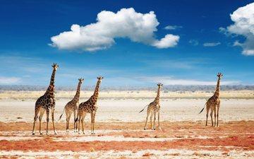 небо, облака, животные, африка, жираф, жирафы