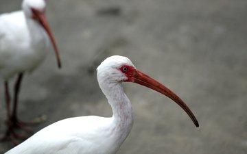 птицы, клюв, перья, глаз, шея, ибис