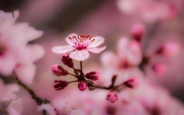 цветы, ветка, природа, дерево, цветение, макро, фон, ветки, весна