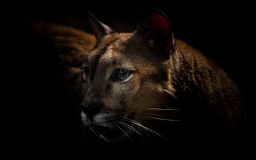 look, predator, black background, puma, wild cat, mountain lion, cougar