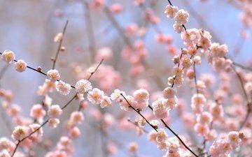 цветение, ветки, весна, розовый, нежность, слива
