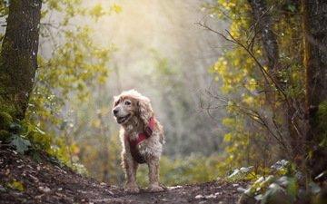деревья, лес, настроение, туман, мордочка, взгляд, осень, собака, тропинка, боке, спаниель