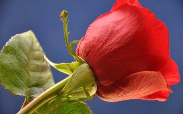 небо, листья, макро, цветок, роза, лепестки, бутон, стебель
