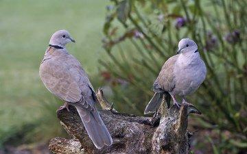 крылья, птицы, клюв, перья, пень, голуби, горлица