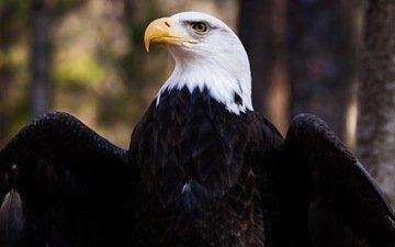 крылья, орел, птица, клюв, перья, белоголовый орлан
