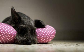 собака, дом, уют, подушка, ризеншнауцер