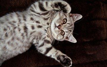 кот, кошка, британец, британская короткошерстная
