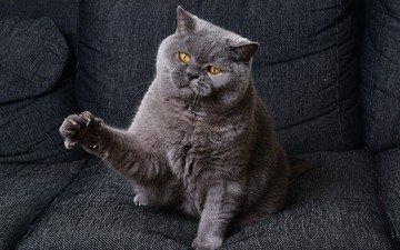 кот, кошка, взгляд, дом, сидит, кресло, когти, британец, лапка, британская короткошерстная