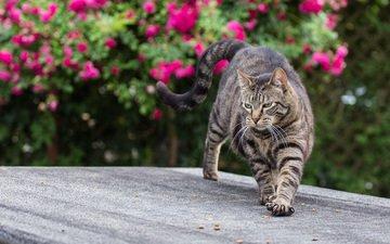 цветы, кот, лето, кошка, когти, полосатый