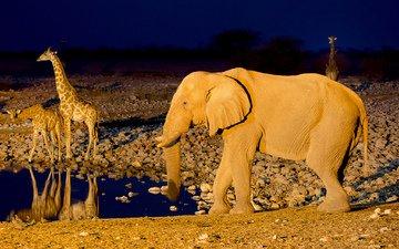 слон, африка, жираф, водопой, намибия, etosha national park