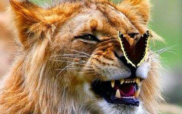 бабочка, лев, оскал, царь зверей