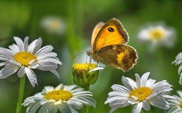 цветы, роса, капли, лето, бабочка, насекомые, ромашки