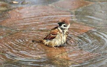 вода, птица, воробей, купание, лужа, мокрый