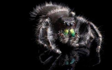 макро, фон, насекомые, паук, phidippus audax
