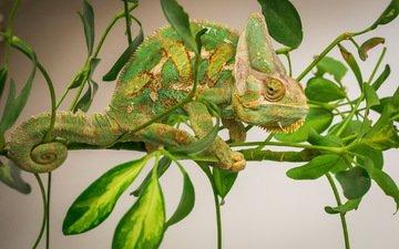ветка, листья, фон, ящерица, хамелеон