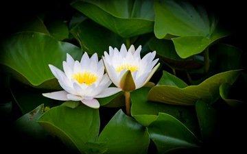 цветы, вода, цветение, листья, белые, водяные лилии