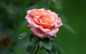 листья, макро, цветок, роза, лепестки, бутон