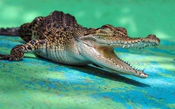 teeth, crocodile, mouth