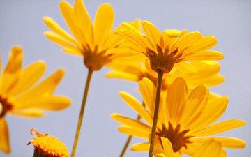 цветы, природа, лепестки, ромашки, стебель, желтые