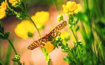 цветы, макро, бабочка, насекомые, боке