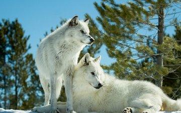 деревья, снег, лес, зима, парочка, белые, хищники, волки