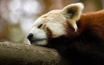 животные, спит, красная панда