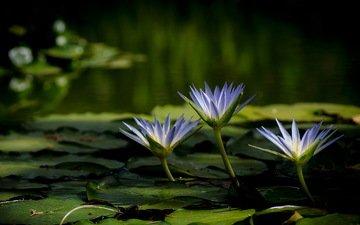 цветы, вода, озеро, природа, растения, лилии, водяные лилии