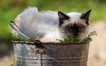 кот, лето, кошка, сиамский, ведро