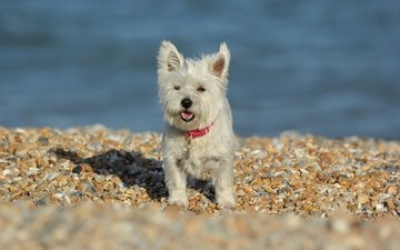 stones, dog, the west highland white terrier