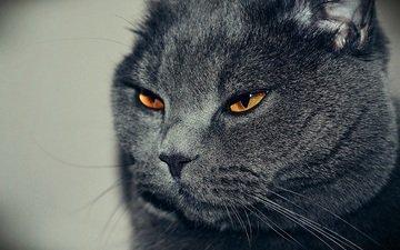 кот, кошка, взгляд, британец
