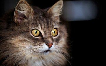 фон, кот, кошка, взгляд, пушистая