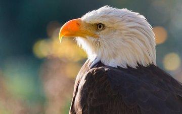 хищник, птица, клюв, голова, белоголовый орлан