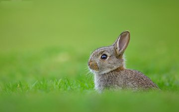 grass, rabbit, hare