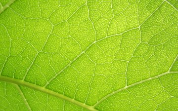 the sun, summer, sheet, veins, green leaf