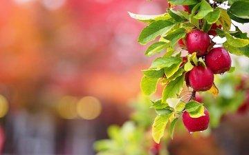 ветка, листья, капли, фрукты, яблоки, плоды, ветка яблони