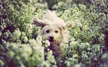 flowers, mood, dog, joy, doggie, the coton de tulear