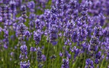 цветы, макро, поле, лаванда, луг
