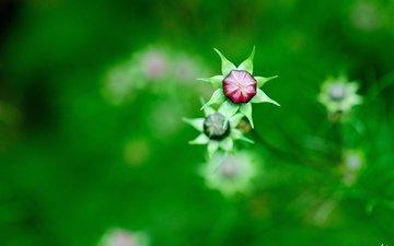 цветы, природа, зелень, бутоны, фокус камеры, размытость, полевые, космея
