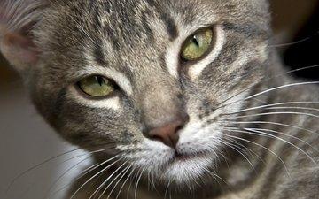 глаза, кот, усы, шерсть, кошка, серый, полосатый