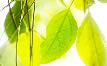 природа, зелень, листья