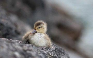 природа, фон, птица, утка, утенок, маленькая утка