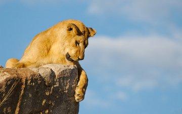хищник, большая кошка, львица