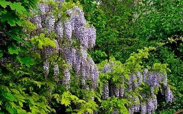 деревья, цветение, весна, цветочки, глициния