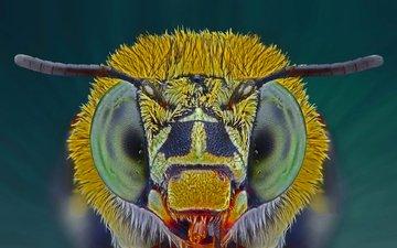 глаза, макро, насекомое, пчела, голубая, ленточная