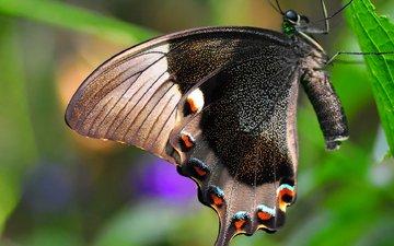 природа, насекомое, бабочка, крылья, лист, мотылек