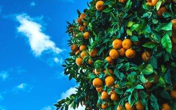 небо, дерево, фрукты, плоды, мандарины, цитрусы