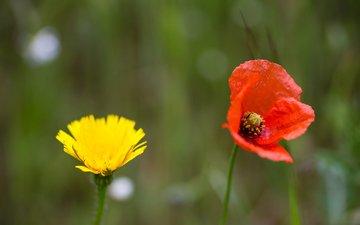 цветы, поле, лепестки, луг, мак, одуванчик